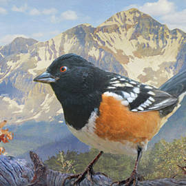 Colorado Spotted Towhee by R christopher Vest