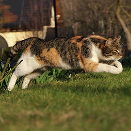 Colored domestic cat jumps over bed of roses to pleasant green grass. Kitten in jump. Long jump. Pedigree young pet spring from back legs and stretched her front legs for better fall. by Vaclav Sonnek