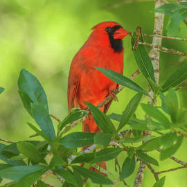 Colorful Cardinal by Michelle Tinger