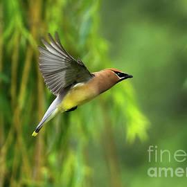 Colorful Cedar Waxwing in Flight by Jackie Follett