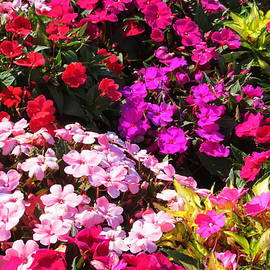 Colorful Impatiens by Kay Novy