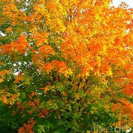 Colorful Maple Trees, Minnesota by Ann Brown