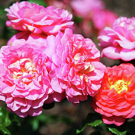 Colorful Roses by Cynthia Guinn