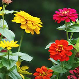 Colorful Zinnias Wide Format by Marilyn DeBlock