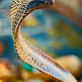 Colors of a Cobra by Michael Cinnamond