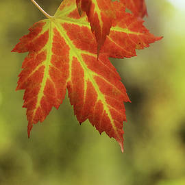 Colors Of Maple by Sue Capuano