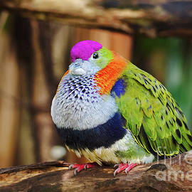 Colourful Fruit Dove in Sydney by Philipp Glanz