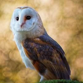 Common barn owl by James Lamb Photo