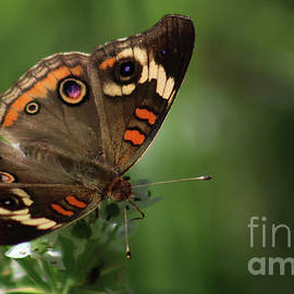 Common Buckeye Butterfly-7336 by Gary Gingrich Galleries