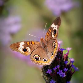 Common Buckeye Butterfly  by Marilyn DeBlock