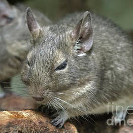 Common Degu by Michelle Meenawong