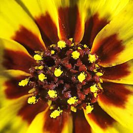 Common Madia Tarweed Wildflower  Painterly Impressionism by Gary McJimsey