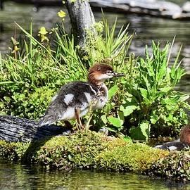 Common Merganser Duckling by Dana Hardy