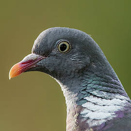 Common Wood Pigeon s portrait by Torbjorn Swenelius