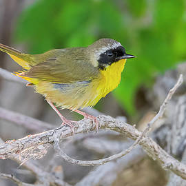 Common Yellowthroat Perched by Morris Finkelstein