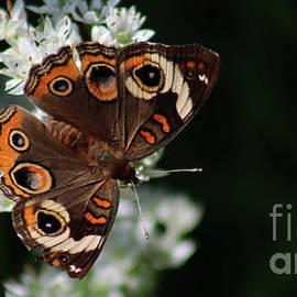 CommonBuckeyeButterfly-7817 by Gary Gingrich Galleries