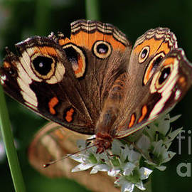 CommonBuckeyeButterfly-7854 by Gary Gingrich Galleries