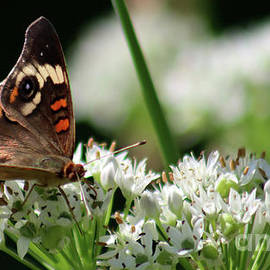 CommonBuckeyeButterfly-8263 by Gary Gingrich Galleries