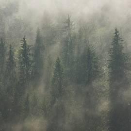 Coniferous forest by Cosmin Stan