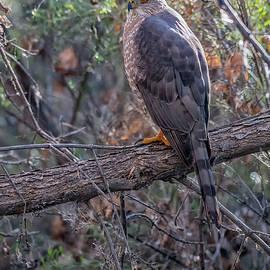 Cooper's Hawk 0323-021020-2 by Tam Ryan