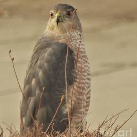 Coopers Hawk Adult  Portrait          January         Indiana by Rory Cubel