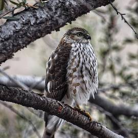 Coopers Hawk by Dana Hardy