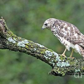 Cooper's Hawk by Elizabeth Winter