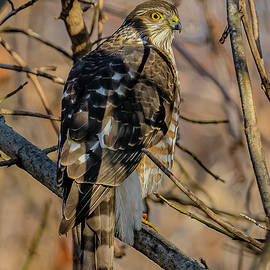 Cooper's Hawk Perched #5 by Morris Finkelstein