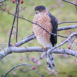 Cooper's Hawk by Ricky L Jones