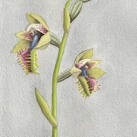 Copper bearded orchid, the painting by Athol KLIEVE