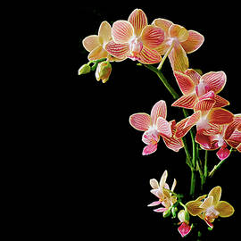 Coral Pink Moth Orchid by Susan Maxwell Schmidt