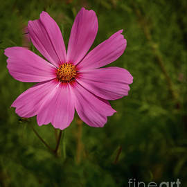 Cosmos by Robert Bales