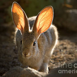 Cottontail Ears by Lisa Manifold