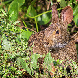 Cottontail Rabbit at Fort Macon State Park by Bob Decker