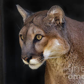 Cougar At The Gate by Mitch Shindelbower