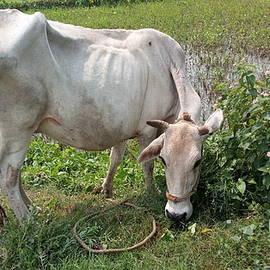 Cow eat grass by Suchit