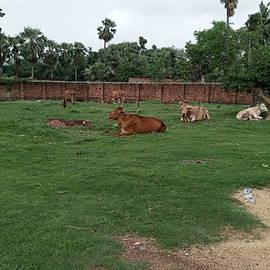 Cow in the garden by Suchit Sah