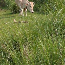 Cow by Suchit Sah