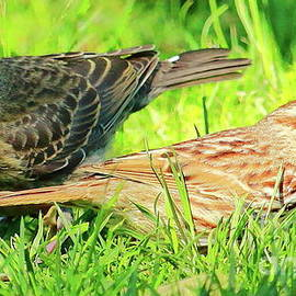 Cowbird and Sparrow by Atiqur Rahman