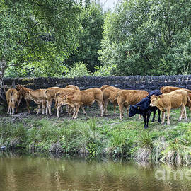 Cows in shade on the banks of the Rochdale Canal England UK by Pics By Tony