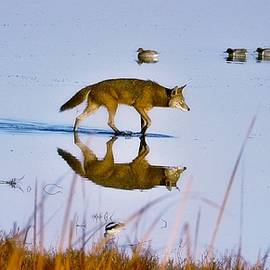 Coyote Cool by John R Williams