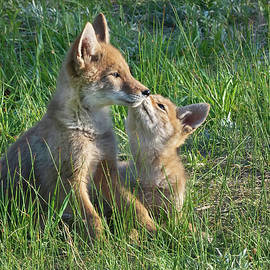 Coyote pup love by Randall Roberts