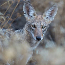 Coyote Stare by Sue Cullumber