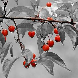 Crab-apple Drip in Selective by Carmen Macuga