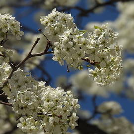 Crab tree Blossoms Against a Blue Sky by Barbara Ebeling