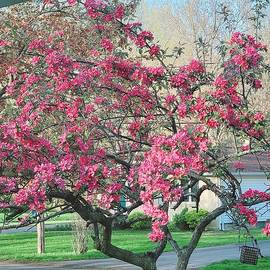 Crabapple tree  by Elaine Sieredzinski