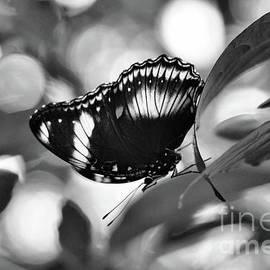 Cracker Butterfly in Black and White by Sandra Huston