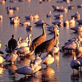 Cranes and Geese, Bosque del Apache, NM by Steven Ralser