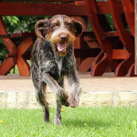 Crazed Rough-coated Bohemian Pointer runs around the garden. Barbu tcheque in jump. Female dog flying back and forth. Playing with pet in the garden. Grace of movement. Enthusiasm for movement by Vaclav Sonnek