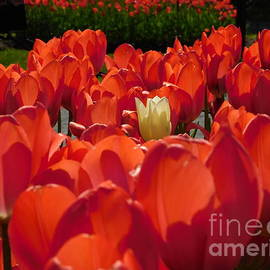 Cream Tulip by Atlas Tracer